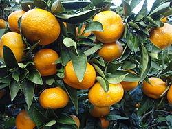 250px-Citrus_unshiu_20101127_c.jpg